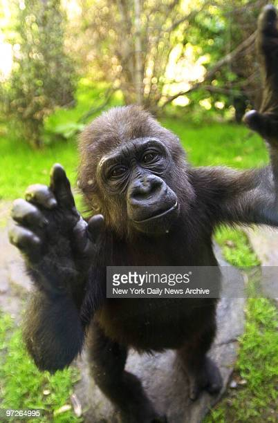 Layla one of three new baby Western Lowland gorillas waves a greeting from the other side of a glass partition at the Bronx Zoo's Congo Gorilla...