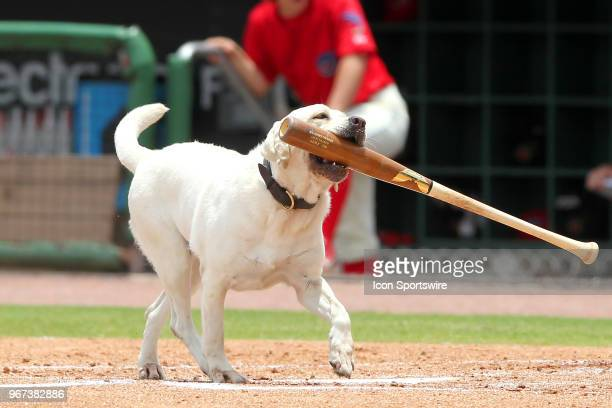 Layla the bat dogs retrieves Austin Listi's bat from around home plate during the Florida State League game between the Florida Fire Frogs and the...