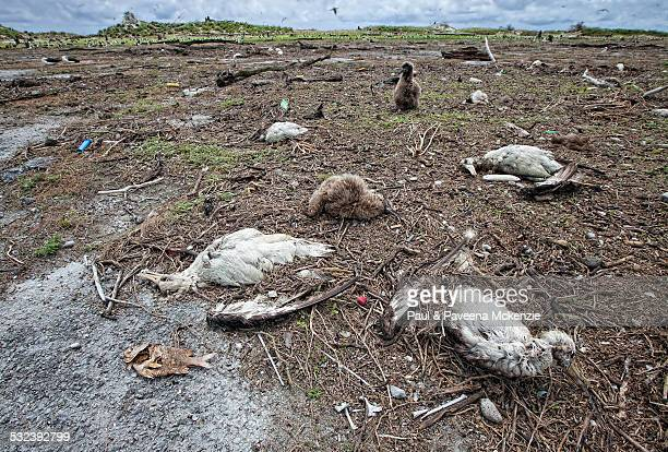 laysan albatross chick and by tsunami carnage - albatros stock-fotos und bilder