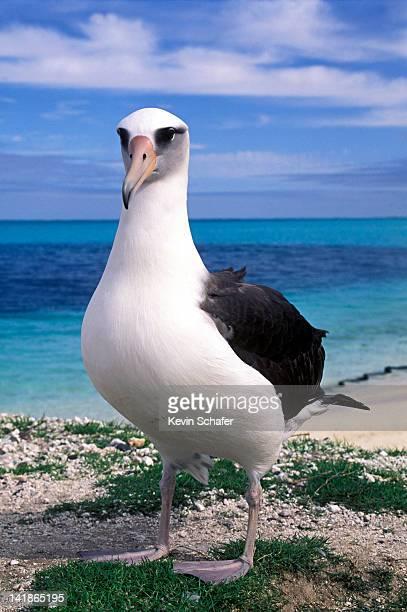 laysan albatross, diomedea immutabilis, midway atoll, northwestern hawaiian islands, hawaii - albatross stock pictures, royalty-free photos & images