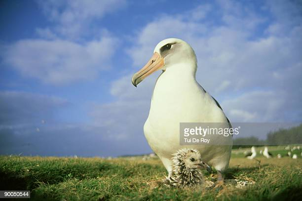 laysan albatross: diomedea immutabilis,  parent guarding young chick,  midway atoll, hawaii - midway atoll stock pictures, royalty-free photos & images