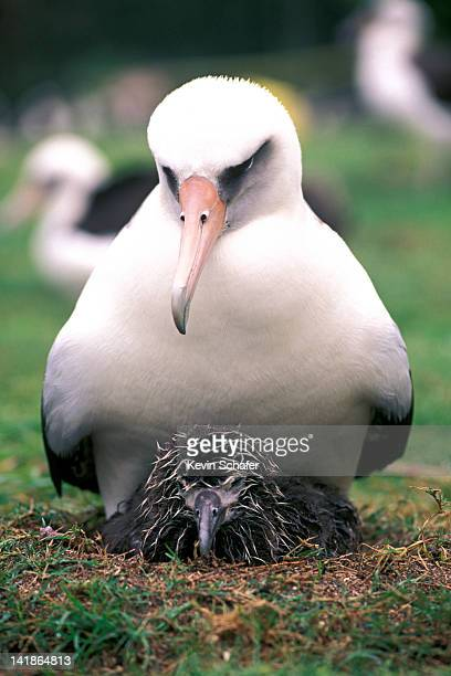 laysan albatross, diomedea immutabilis, with chick in february. midway atoll, northwest hawaiian island - midway atoll stock pictures, royalty-free photos & images