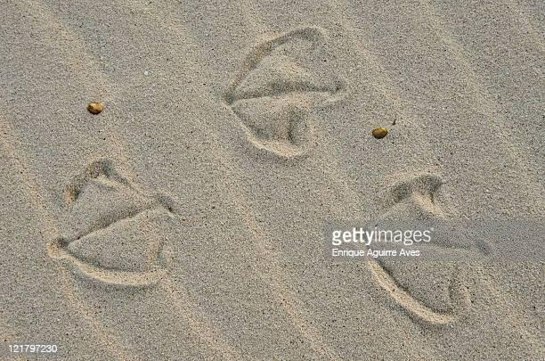 Laysan Albatross (Phoebastria immutabilis) foot print in sand, on Midway Island, Northwestern Hawaiian Islands