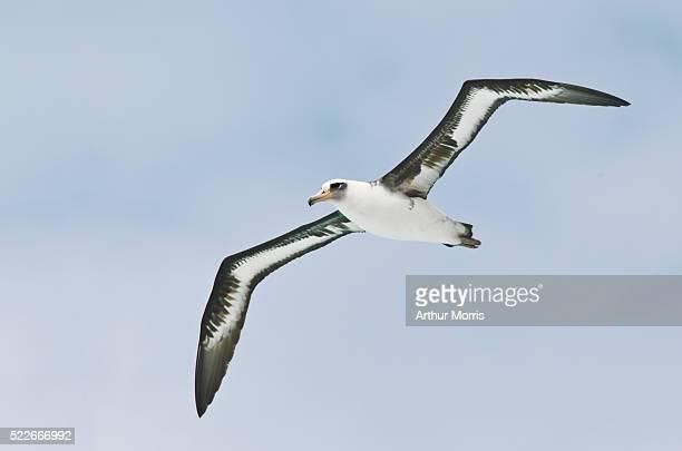 laysan albatross in flight - albatross stock pictures, royalty-free photos & images