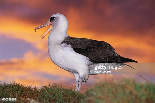 laysan albatross on a beach at sunset - midway atoll stock pictures, royalty-free photos & images