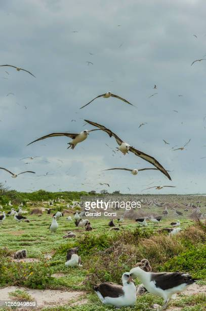 laysan albatross, phoebastria immutabilis, is a large seabird that ranges across the north pacific. the albatross colony on  papahānaumokuākea marine national monument, midway island, midway atoll, hawaiian islands. - midway atoll stock pictures, royalty-free photos & images
