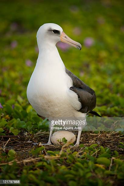 laysan albatross (phoebastria immutabilis) standing over egg in beach morning glory, midway atoll, northwestern hawaiian islands - albatross stock pictures, royalty-free photos & images