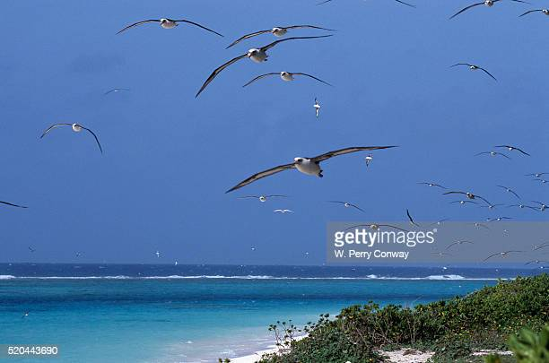 laysan albatrosses flying - midway atoll stock pictures, royalty-free photos & images