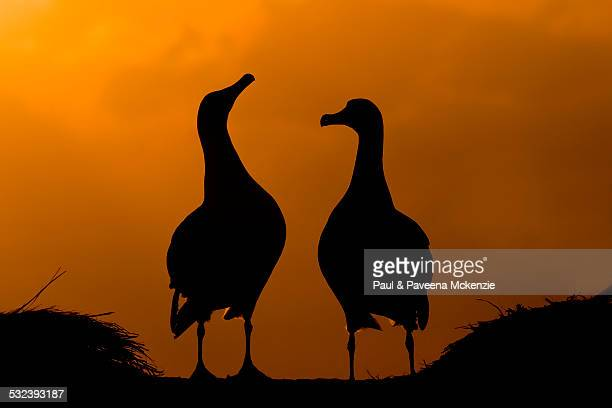 laysan albatrosses silhouetted against sunset sky - midway atoll stock pictures, royalty-free photos & images