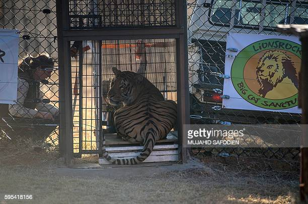 Laziz a Bengal tiger from Gazas Khan Yunis zoo is released in an enclosed enviroment at the Lions Rock Big Cat Sanctuary on August 25 2016 in...