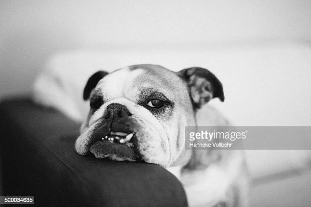 Lazy and tired English bulldog on couch