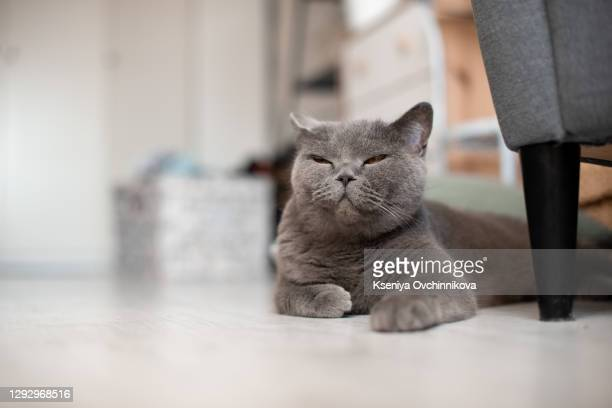 lazy british short hair cat sleeping on a couch in a flat in edinburgh, scotland, with her face squashed as she is fully relaxed - british shorthair cat stock pictures, royalty-free photos & images