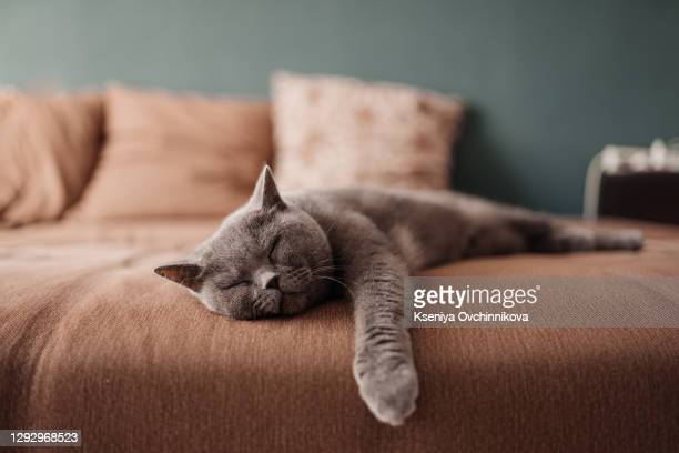 lazy british short hair cat sleeping on a couch in a flat in edinburgh, scotland, with her face squashed as she is fully relaxed - sofa stock pictures, royalty-free photos & images