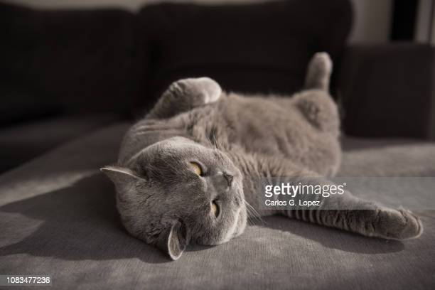 lazy british shorthair cat lying comfortably on grey couch - funny cats stock pictures, royalty-free photos & images