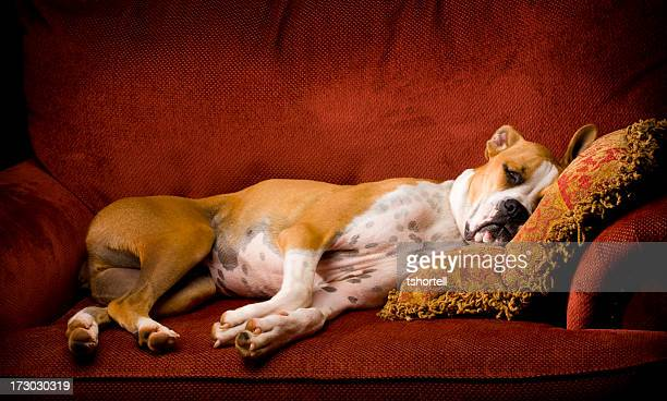 A lazy brown and white dog on a red chair asleep