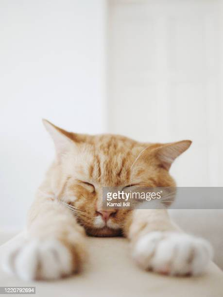 lazy cat - cat family stock pictures, royalty-free photos & images