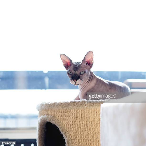 lazy cat - sphynx hairless cat stock photos and pictures