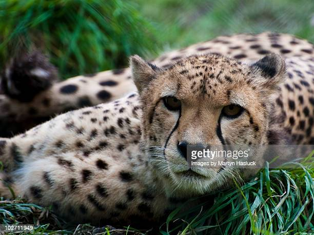 lazy cheetah - exmoor national park stock pictures, royalty-free photos & images