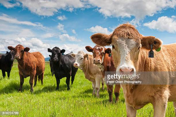 lazy days - cattle stock pictures, royalty-free photos & images