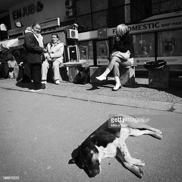 Lazy dog on the street in Beograd, Serbia