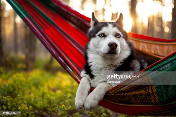 lazy husky dog lying in a hammock - husky dog stock pictures, royalty-free photos & images