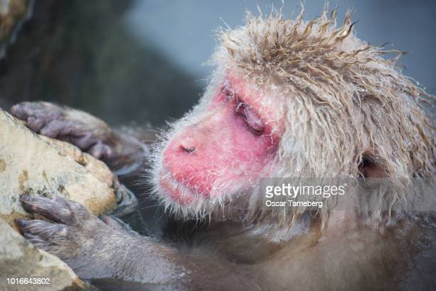 Lazy Japanese snow monkey relaxing