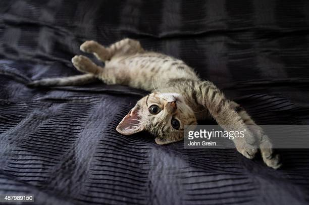 Lazy kitten relaxing on bed