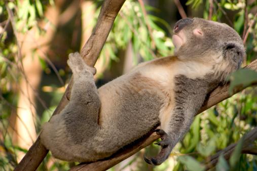 Lazy Koala 139995566