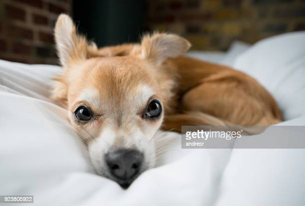 lazy long haired chihuahua relaxing at home - long haired chihuahua stock photos and pictures