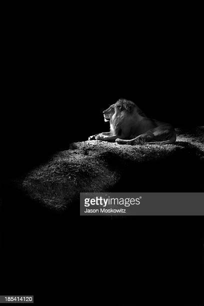 CONTENT] Lazy Male lion resting on the hill