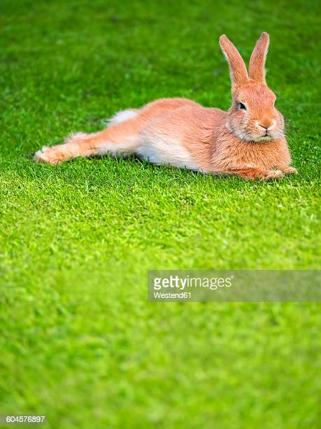 lazy rabbit lying on a meadow - osterhase stock-fotos und bilder