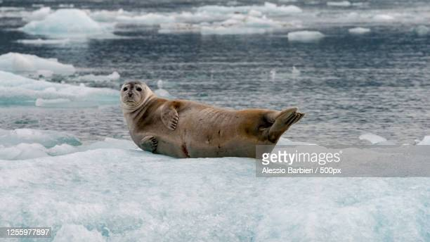 a lazy seal lying on ice and looking at camera, hofn, iceland - pack ice stock pictures, royalty-free photos & images