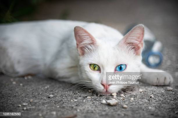 Lazy White Cat with Heterochromia, Green and Blue eyes