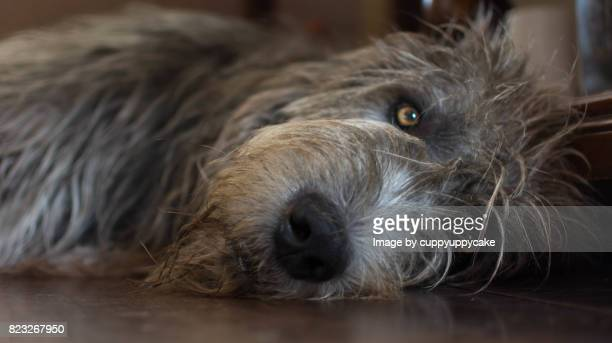 lazy wolfhound - irischer wolfshund stock-fotos und bilder