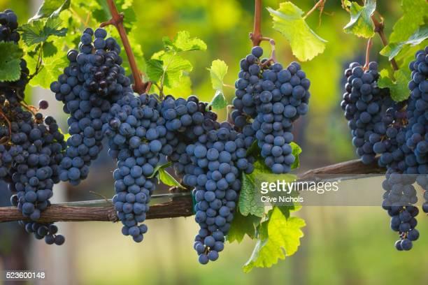Le Corne vineyard in Italy