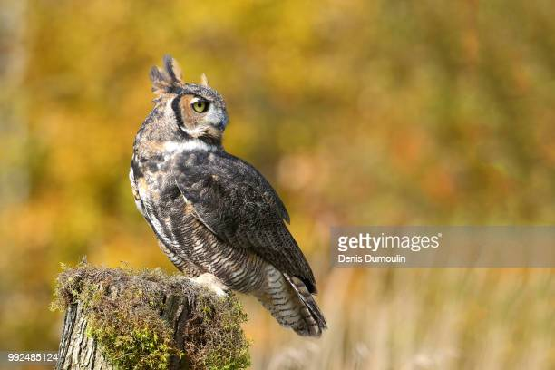 le grand-duc - great horned owl stock pictures, royalty-free photos & images
