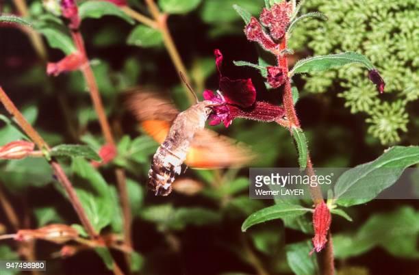 Le morosphinx ou papillon colibri butinant une fleur