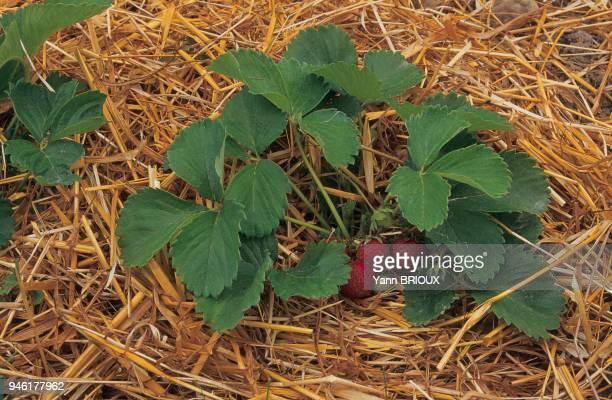 Le paillis maintient l'humidit du sol et protge les fraises