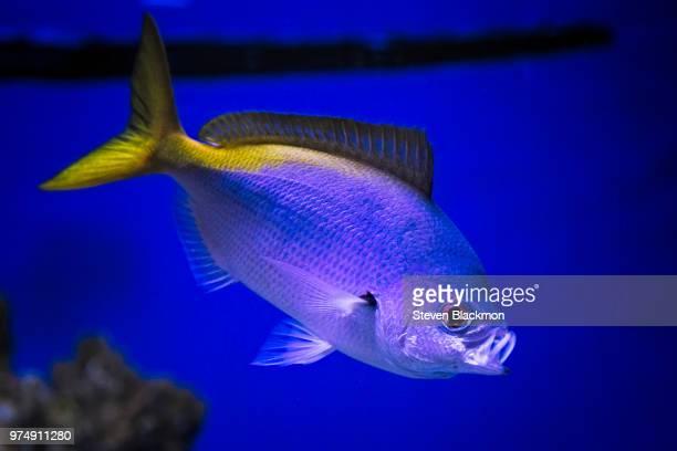 le poisson bleu - poisson stock photos and pictures