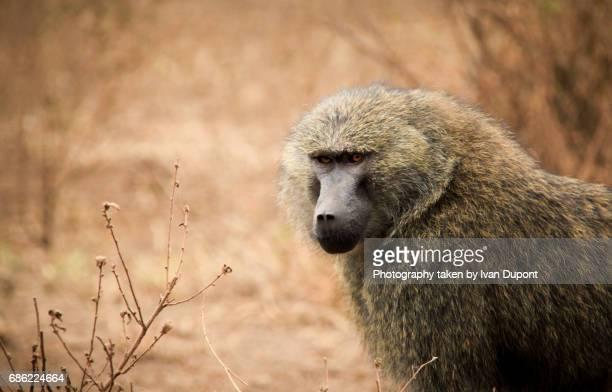 Le regard assuré d'un babouin mâle