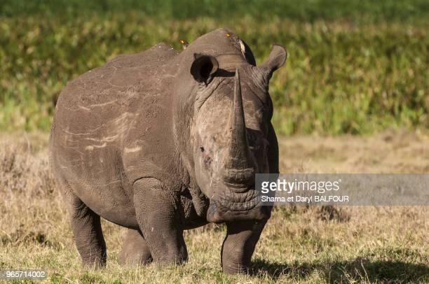 Le rhinocéros blanc Les rhinocéros sont les principales cibles des braconniers qui les chassent pour leurs cornes en forte demande dans...