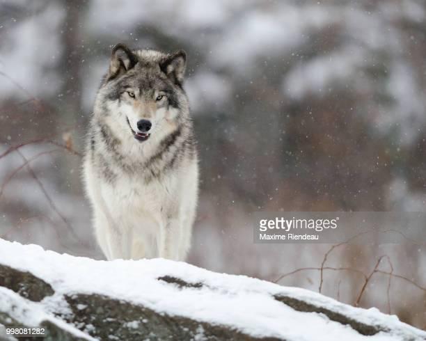Le sourire du loup
