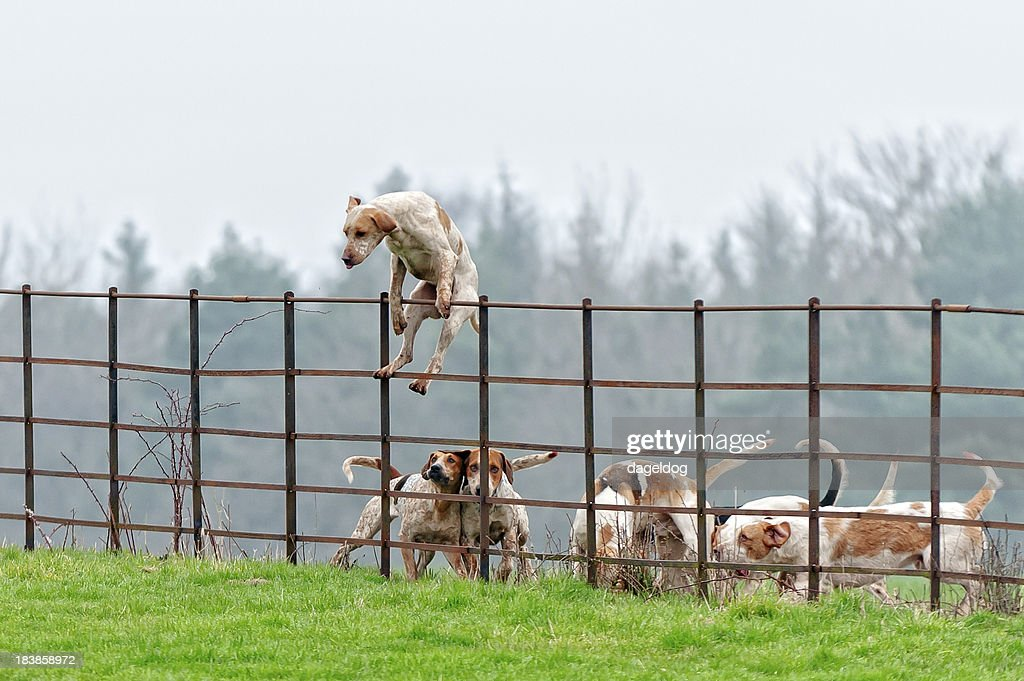 Lead pack dog jumps a fence in rural England : Stock Photo