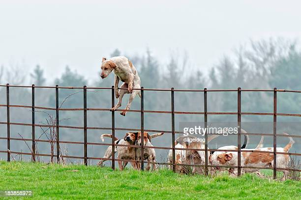 Lead pack dog jumps a fence in rural England