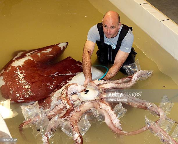 Lead Technician of Te Papa Mark Fenwick sits in a tank with a giant squid at the Te Papa Museum on April 30 2008 in Wellington New Zealand The giant...
