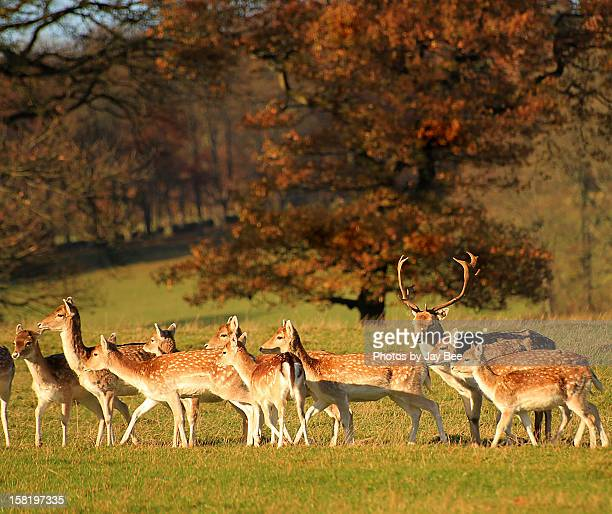leader of the pack! - chatsworth derbyshire stock pictures, royalty-free photos & images
