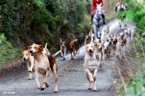 leader of the pack - fox hunting stock pictures, royalty-free photos & images