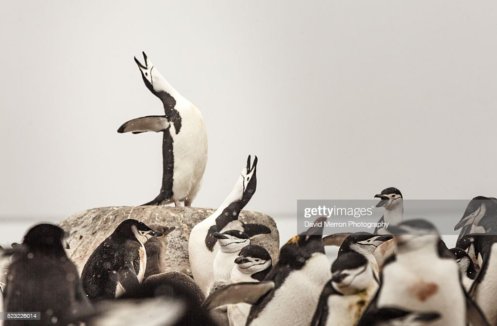 A Chinstrap Penguin makes a call as it stands above the rest of its colony.