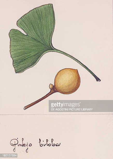 Leaf and fruit of the Ginkgo Ginkgoaceae drawing