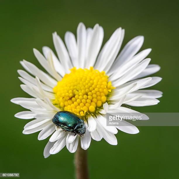Leaf beetle alder chrysomelid beetle on flower